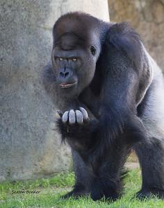 Gorilla 545