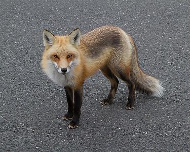Red Fox_2705