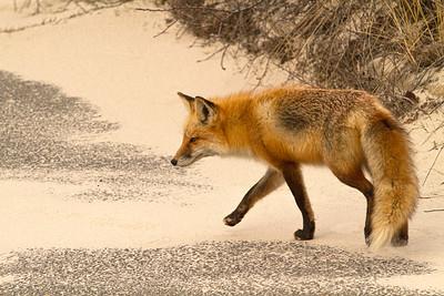 Red Fox 2854-2