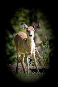 Young Deer 158