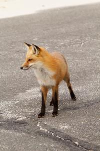 Red Fox_2844
