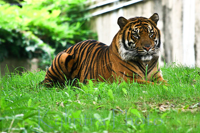 Tiger at Rest 932