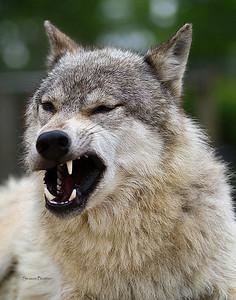 Wolf 744