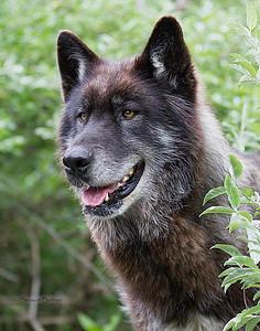 Wolf 521