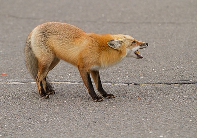 Red Fox_3122