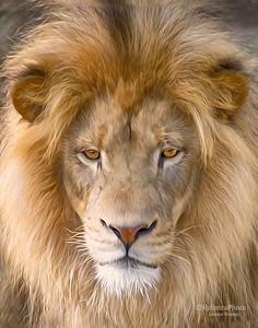 Lion 365