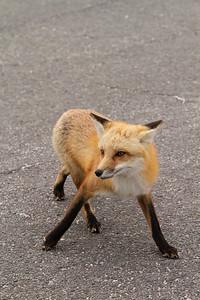 Red Fox_2930-2