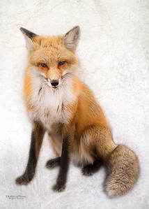 Red Fox 2998
