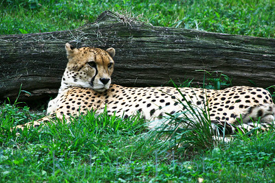Cheeta's Repose 344