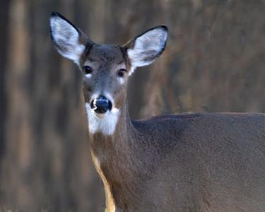 Smithville-Deer_5737