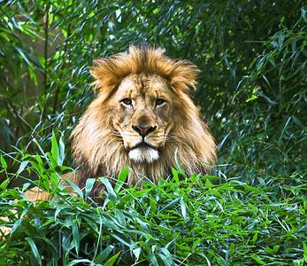 Old Lion 275