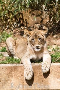 Lion Cub 688