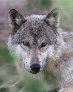 Gray Wolf 732