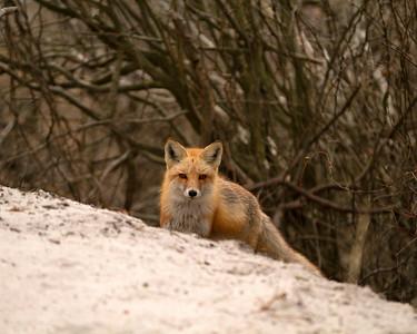 Red Fox_3220