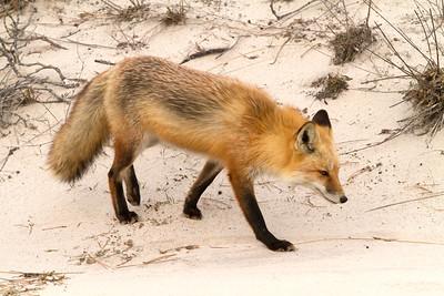 Red Fox_2871