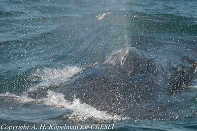 Young humback whale (10.6 meters)