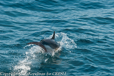 Common dolphin, CRESLI/Viking Whale watch, July 31, 2011