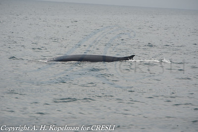 fin whale, Balaenoptera physalus