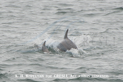 Inshore bottlenose dolphin (mom and calf)