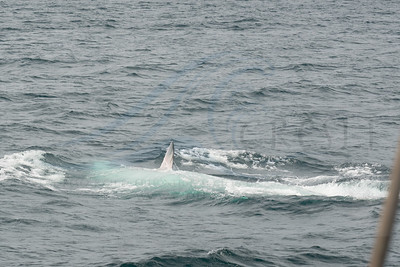 Fin whale rolling over, left pectoral flipper in air