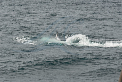 Fin whale rolling over, left pectoral flipper in a