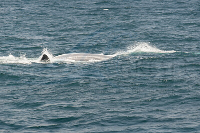 Fin whale rolling over