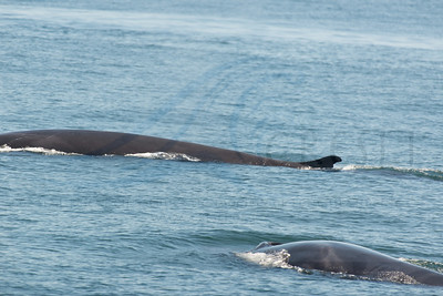 Fin whale mom and calf