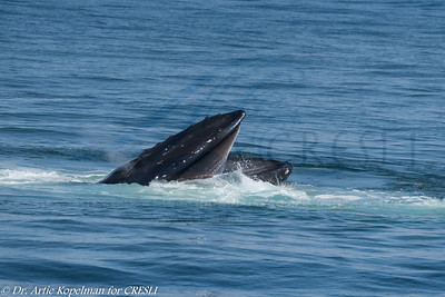 Blowing humpback, bubble cloud open-mouth feeding, filtering sand eels