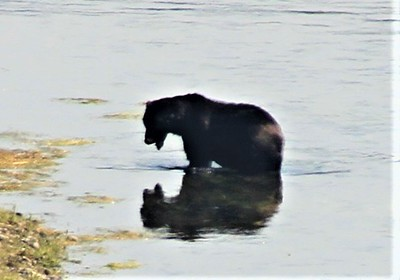 GRIZZLY BEAR IN HAYDEN VALLEY YELLOWSTONE