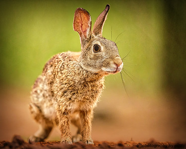 SOUTH RIO GRANDE BUNNY