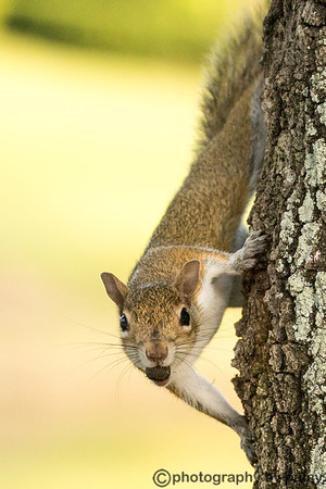 ANOTHER WATERLEFE SQUIRREL - B