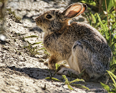 RABBIT in the BADLANDS..