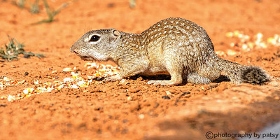 SOUTH TEXAS GROUND SQUIRREL A.