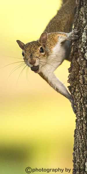 ANOTHER WATERLEFE SQUIRREL - A