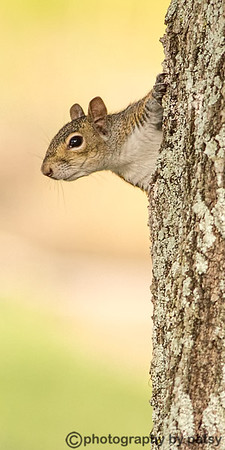ANOTHER WATERLEFE SQUIRREL - C