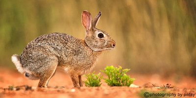 SOUTH TEXAS BUNNY
