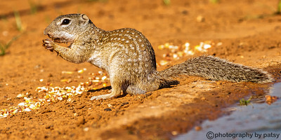 SOUTH TEXAS GROUND SQUIRREL C