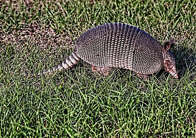 LUCKY ARMADILLO GRAZING near an eagle's nest 2009