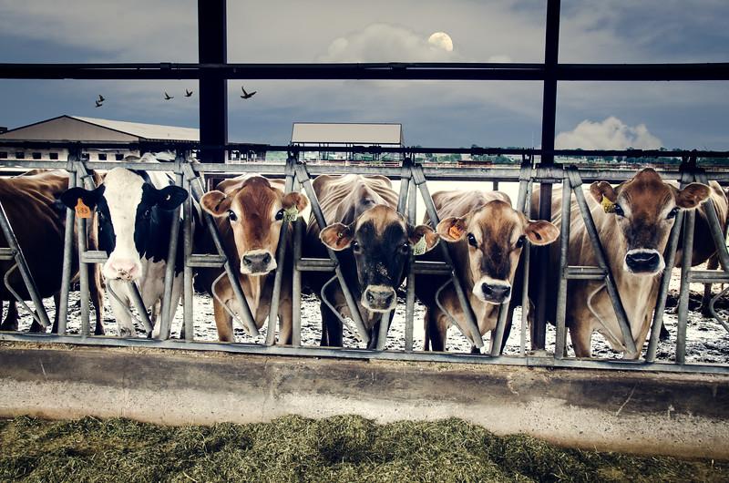 OSU Cows
