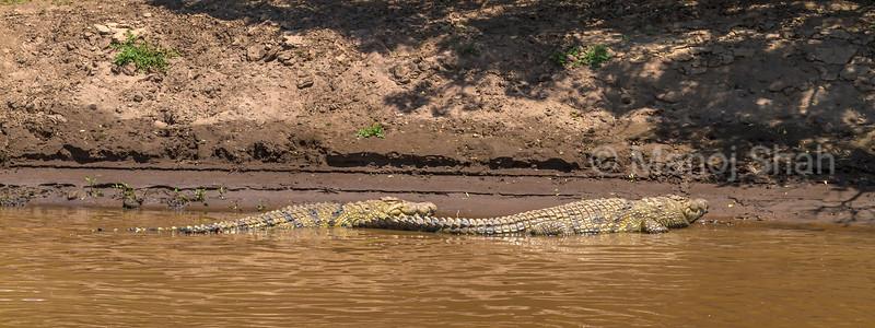 Nile crocodiles resting in Mara River in Masai Mara.