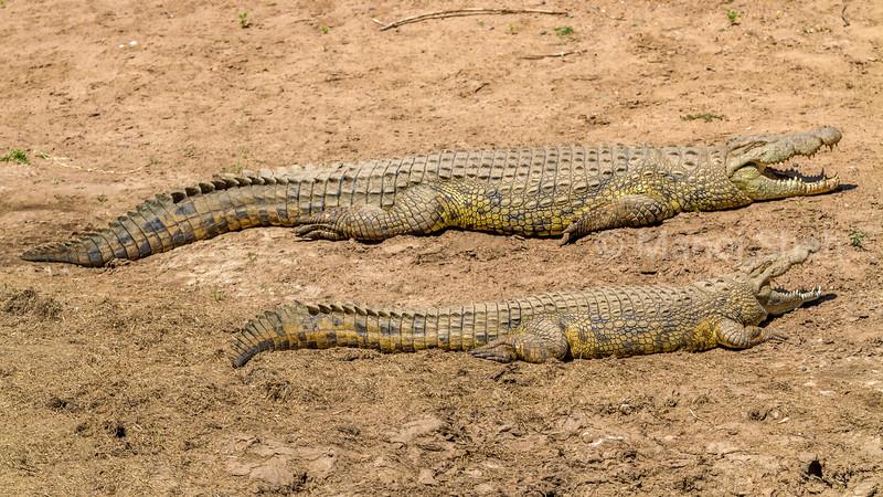 Nile crocodiles basking in sun in Masai Mara.