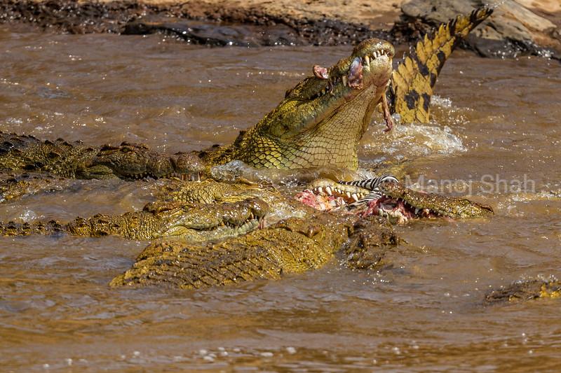 Nile crocodiles featingon a zebra kill in Masai Mara.