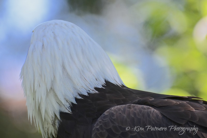 Reflecting Bald Eagle