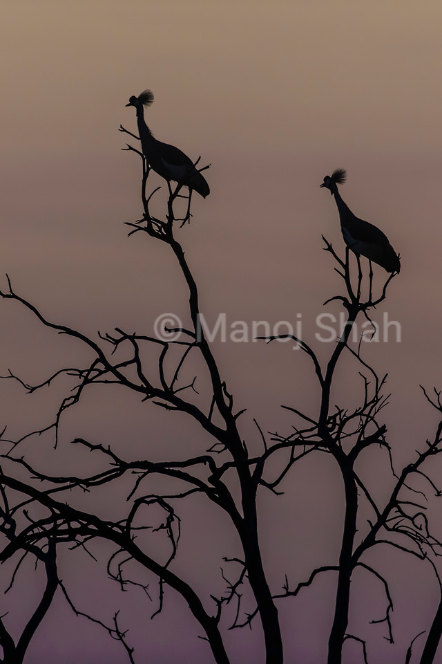Crowned Crane resting on tree top before sunrise