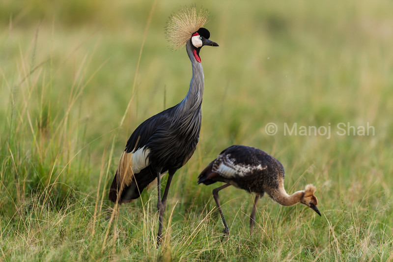 Crown Crane adult with chick
