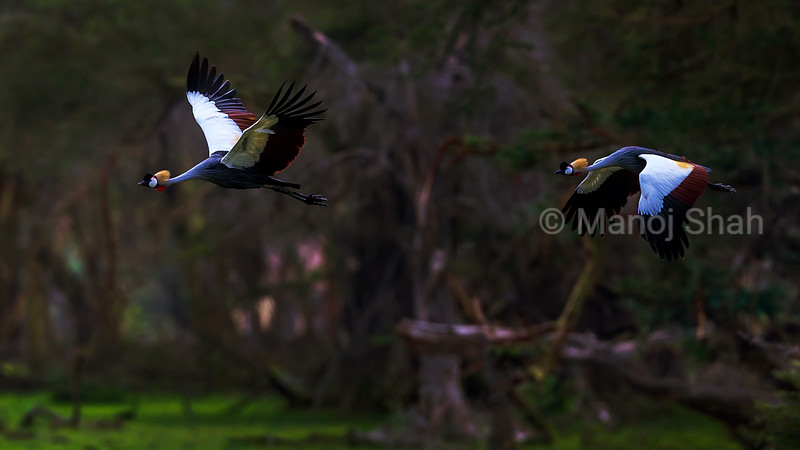 Crown Cranes in flight over Amboseli marsh, Kenya