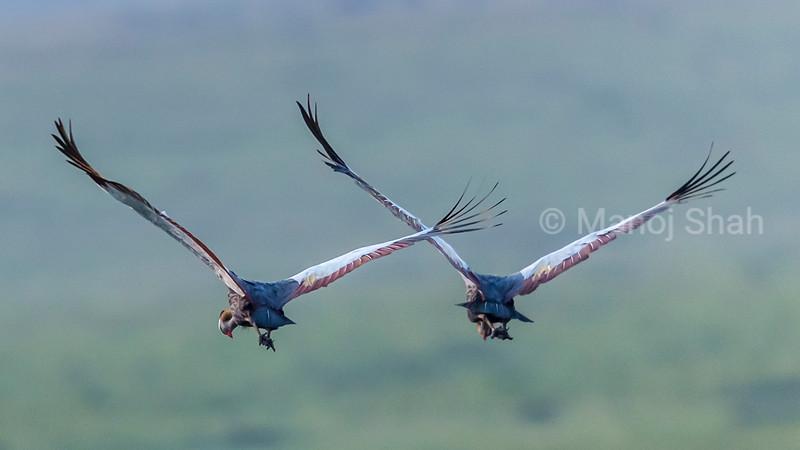 Crowned Cranes flying away