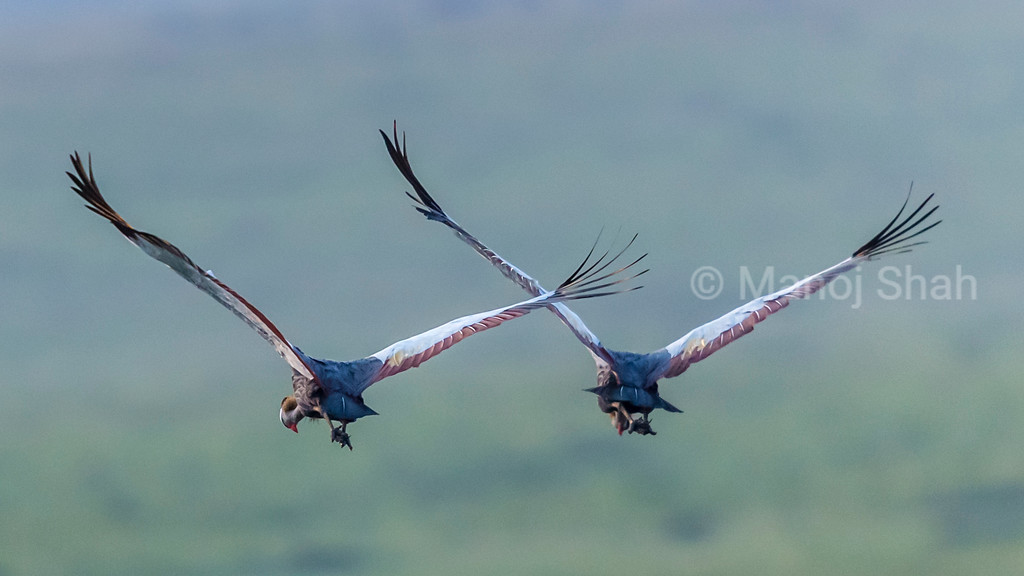 Crowned Cranes flying away