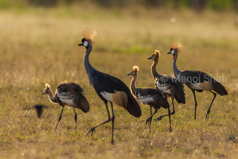 Crown Cranes with 3 sub adult chicks