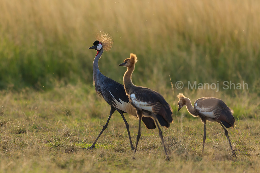 Crowned Crane with 2 sub adult young chicks.